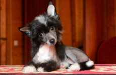 Китайская хохлатая собака. Описание, особенности, виды, уход и цена породы