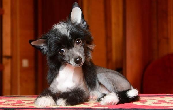 Китайская-хохлатая-собака-Описание-особенности-виды-уход-и-цена-породы-11