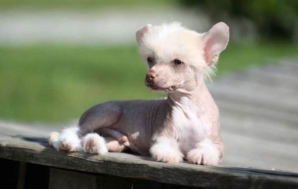 Китайская-хохлатая-собака-Описание-особенности-виды-уход-и-цена-породы-13