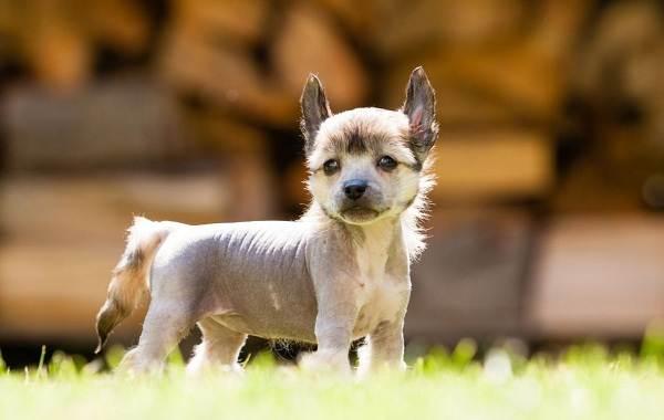 Китайская-хохлатая-собака-Описание-особенности-виды-уход-и-цена-породы-14