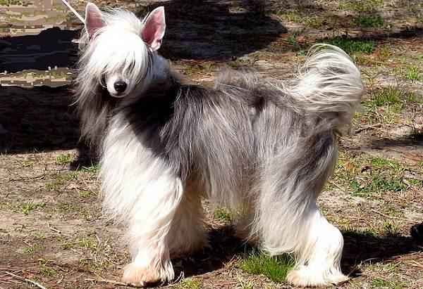 Китайская-хохлатая-собака-Описание-особенности-виды-уход-и-цена-породы-15