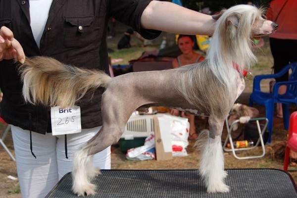 Китайская-хохлатая-собака-Описание-особенности-виды-уход-и-цена-породы-16