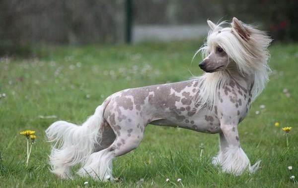 Китайская-хохлатая-собака-Описание-особенности-виды-уход-и-цена-породы-17