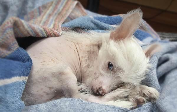 Китайская-хохлатая-собака-Описание-особенности-виды-уход-и-цена-породы-18