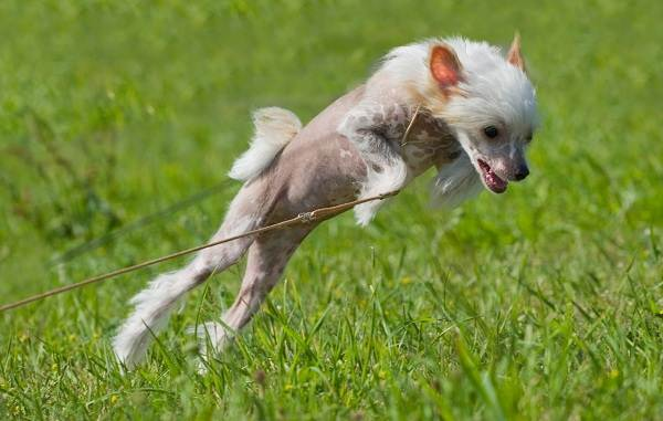 Китайская-хохлатая-собака-Описание-особенности-виды-уход-и-цена-породы-19