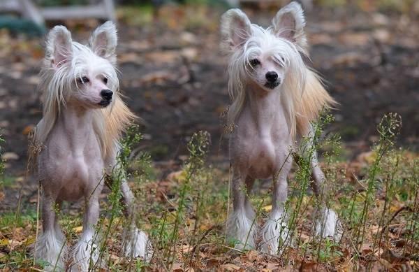 Китайская-хохлатая-собака-Описание-особенности-виды-уход-и-цена-породы-2