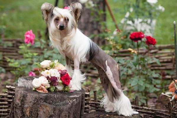 Китайская-хохлатая-собака-Описание-особенности-виды-уход-и-цена-породы-22