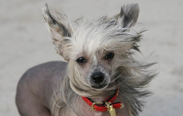 Китайская-хохлатая-собака-Описание-особенности-виды-уход-и-цена-породы-3