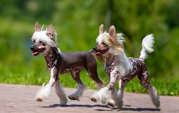 Китайская-хохлатая-собака-Описание-особенности-виды-уход-и-цена-породы-4