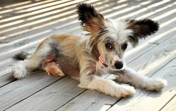 Китайская-хохлатая-собака-Описание-особенности-виды-уход-и-цена-породы-5