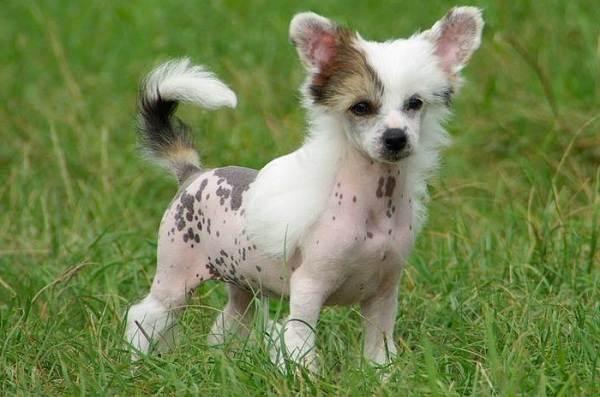 Китайская-хохлатая-собака-Описание-особенности-виды-уход-и-цена-породы-6