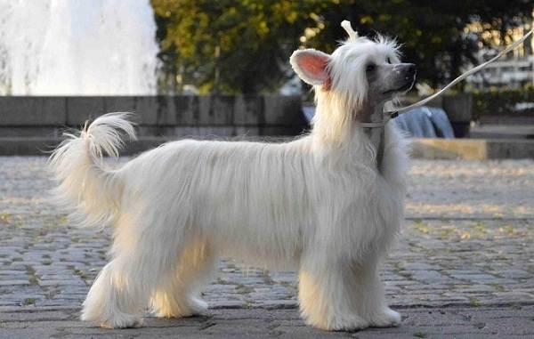 Китайская-хохлатая-собака-Описание-особенности-виды-уход-и-цена-породы-7