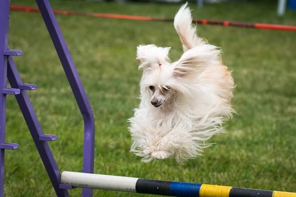 Китайская-хохлатая-собака-Описание-особенности-виды-уход-и-цена-породы-8