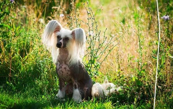 Китайская-хохлатая-собака-Описание-особенности-виды-уход-и-цена-породы-9