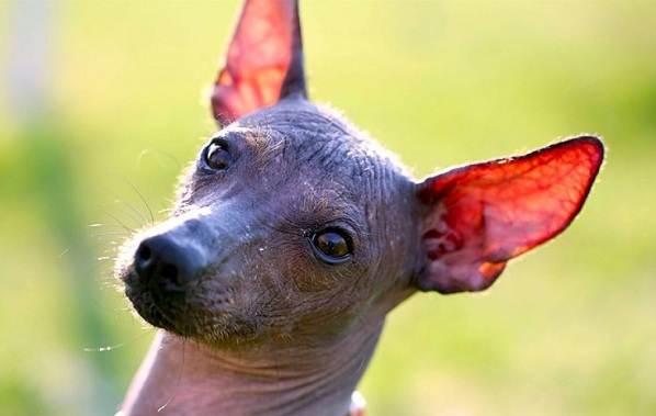 Ксолоитцкуинтли-собака-Описание-особенности-виды-уход-и-цена-породы-11
