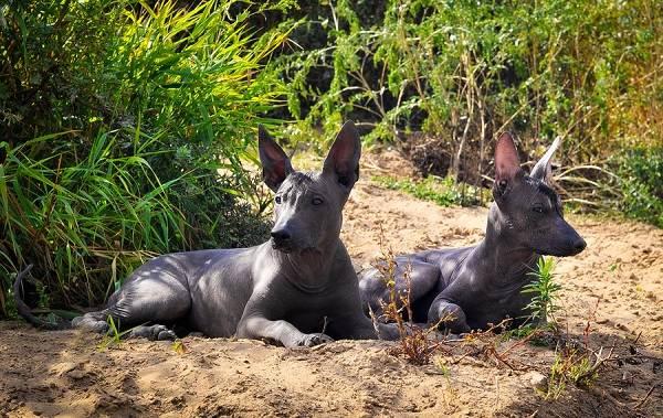 Ксолоитцкуинтли-собака-Описание-особенности-виды-уход-и-цена-породы-14