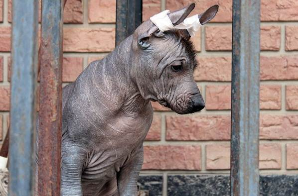 Ксолоитцкуинтли-собака-Описание-особенности-виды-уход-и-цена-породы-18