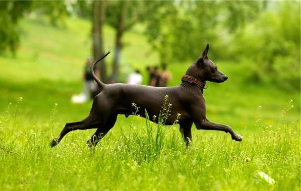 Ксолоитцкуинтли-собака-Описание-особенности-виды-уход-и-цена-породы-19