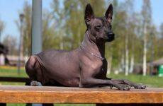 Ксолоитцкуинтли собака. Описание, особенности, виды, уход и цена породы