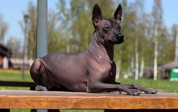 Ксолоитцкуинтли-собака-Описание-особенности-виды-уход-и-цена-породы-2