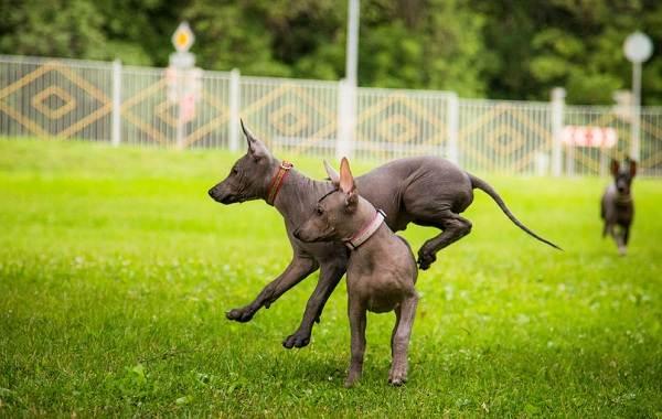 Ксолоитцкуинтли-собака-Описание-особенности-виды-уход-и-цена-породы-20