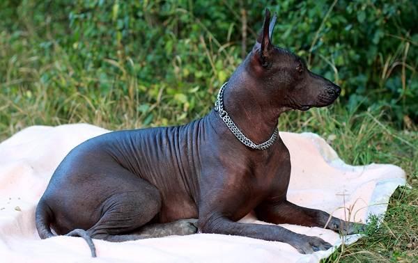 Ксолоитцкуинтли-собака-Описание-особенности-виды-уход-и-цена-породы-3