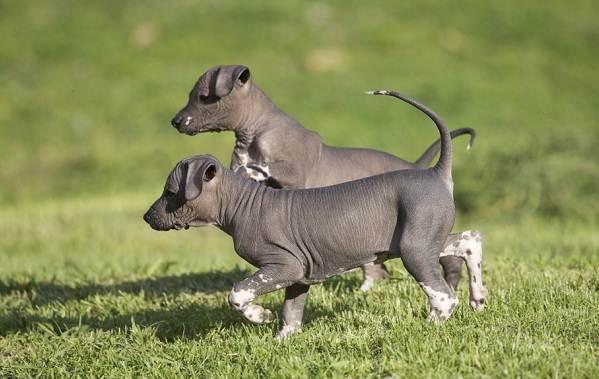 Ксолоитцкуинтли-собака-Описание-особенности-виды-уход-и-цена-породы-4