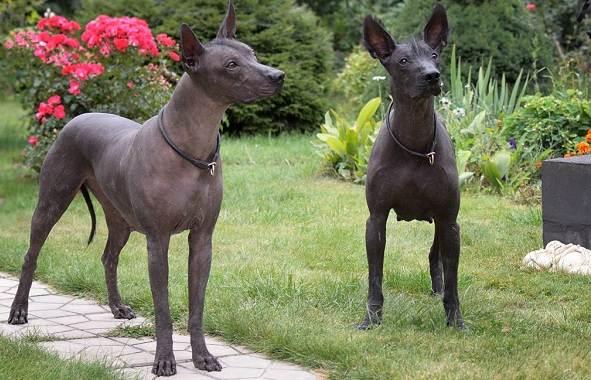 Ксолоитцкуинтли-собака-Описание-особенности-виды-уход-и-цена-породы-5