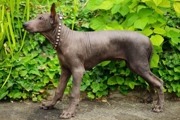 Ксолоитцкуинтли-собака-Описание-особенности-виды-уход-и-цена-породы-6