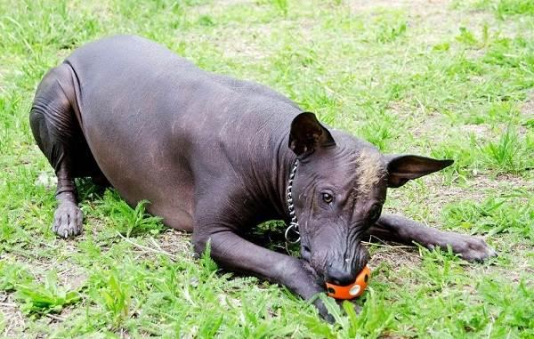 Ксолоитцкуинтли-собака-Описание-особенности-виды-уход-и-цена-породы-9