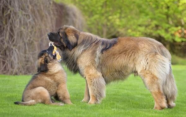Леонбергер-собака-Описание-особенности-виды-уход-и-цена-породы-леонбергер-10