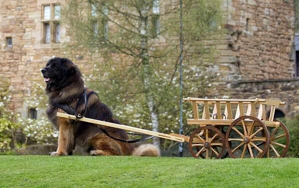 Леонбергер-собака-Описание-особенности-виды-уход-и-цена-породы-леонбергер-11