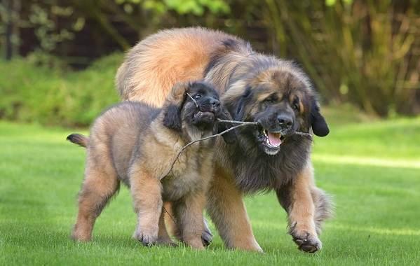 Леонбергер-собака-Описание-особенности-виды-уход-и-цена-породы-леонбергер-12