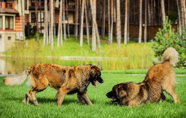 Леонбергер-собака-Описание-особенности-виды-уход-и-цена-породы-леонбергер-19