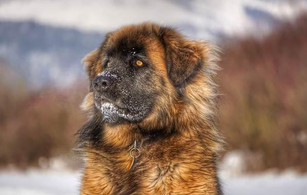 Леонбергер-собака-Описание-особенности-виды-уход-и-цена-породы-леонбергер-2