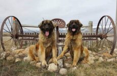 Леонбергер собака. Описание, особенности, виды, уход и цена породы леонбергер