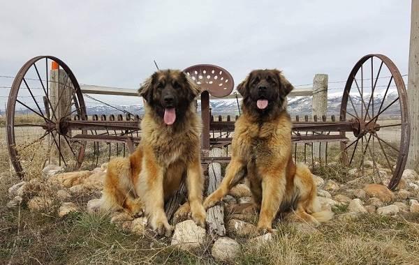 Леонбергер-собака-Описание-особенности-виды-уход-и-цена-породы-леонбергер-6