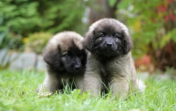 Леонбергер-собака-Описание-особенности-виды-уход-и-цена-породы-леонбергер-8