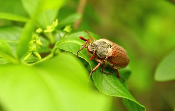 Майский-жук-насекомое-Описание-виды-образ-жизни-и-среда-обитания-майского-жука-1