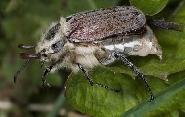 Майский-жук-насекомое-Описание-виды-образ-жизни-и-среда-обитания-майского-жука-10
