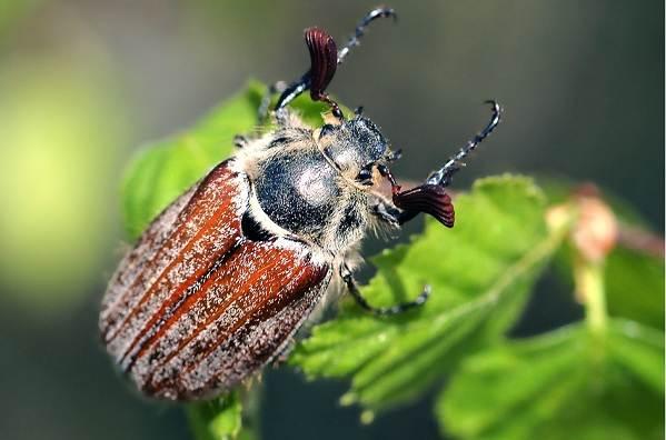 Майский-жук-насекомое-Описание-виды-образ-жизни-и-среда-обитания-майского-жука-11