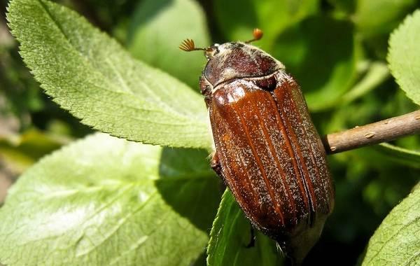 Майский-жук-насекомое-Описание-виды-образ-жизни-и-среда-обитания-майского-жука-12
