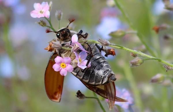 Майский-жук-насекомое-Описание-виды-образ-жизни-и-среда-обитания-майского-жука-13