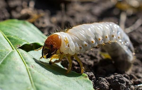 Майский-жук-насекомое-Описание-виды-образ-жизни-и-среда-обитания-майского-жука-16