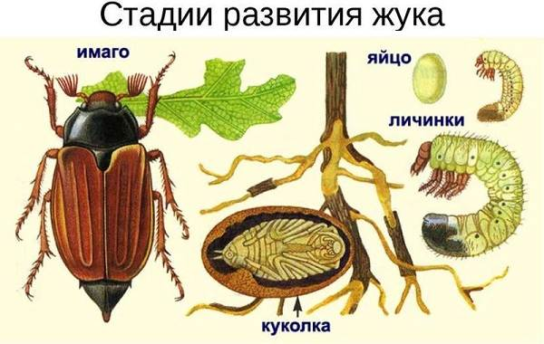 Майский-жук-насекомое-Описание-виды-образ-жизни-и-среда-обитания-майского-жука-17
