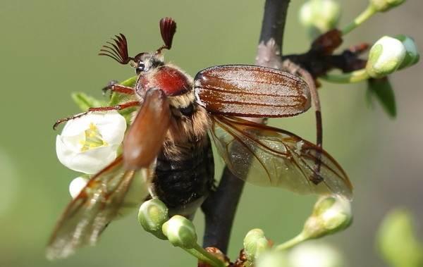 Майский-жук-насекомое-Описание-виды-образ-жизни-и-среда-обитания-майского-жука-18