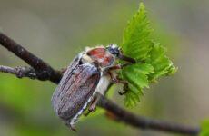 Майский жук насекомое. Описание, виды, образ жизни и среда обитания майского жука