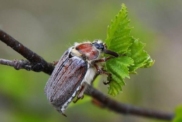 Майский-жук-насекомое-Описание-виды-образ-жизни-и-среда-обитания-майского-жука-2