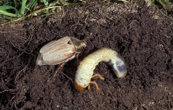 Майский-жук-насекомое-Описание-виды-образ-жизни-и-среда-обитания-майского-жука-20