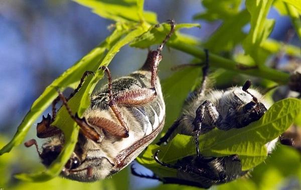 Майский-жук-насекомое-Описание-виды-образ-жизни-и-среда-обитания-майского-жука-21